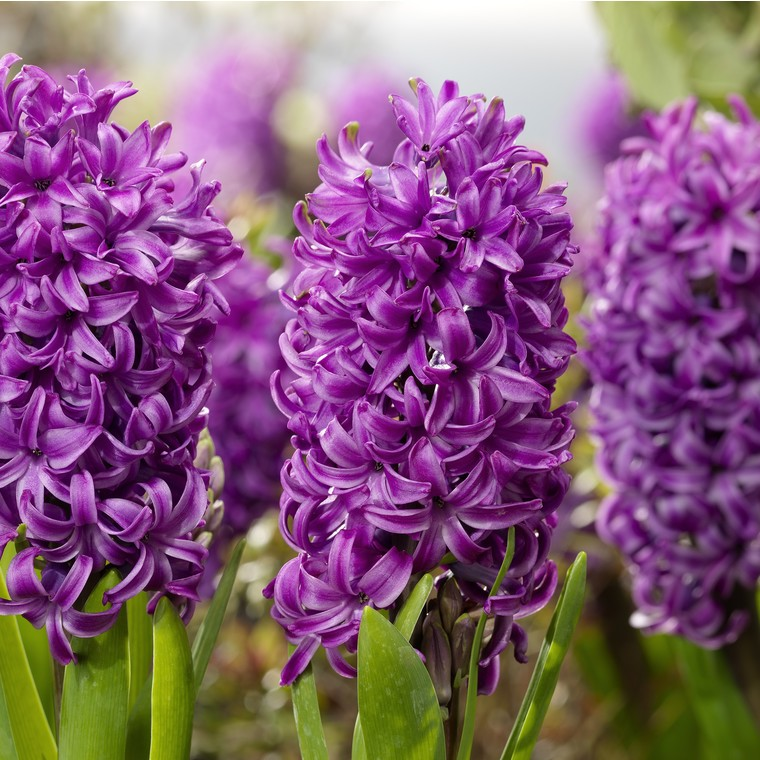 Jacinthe Purple Sensation. Le godet 346373