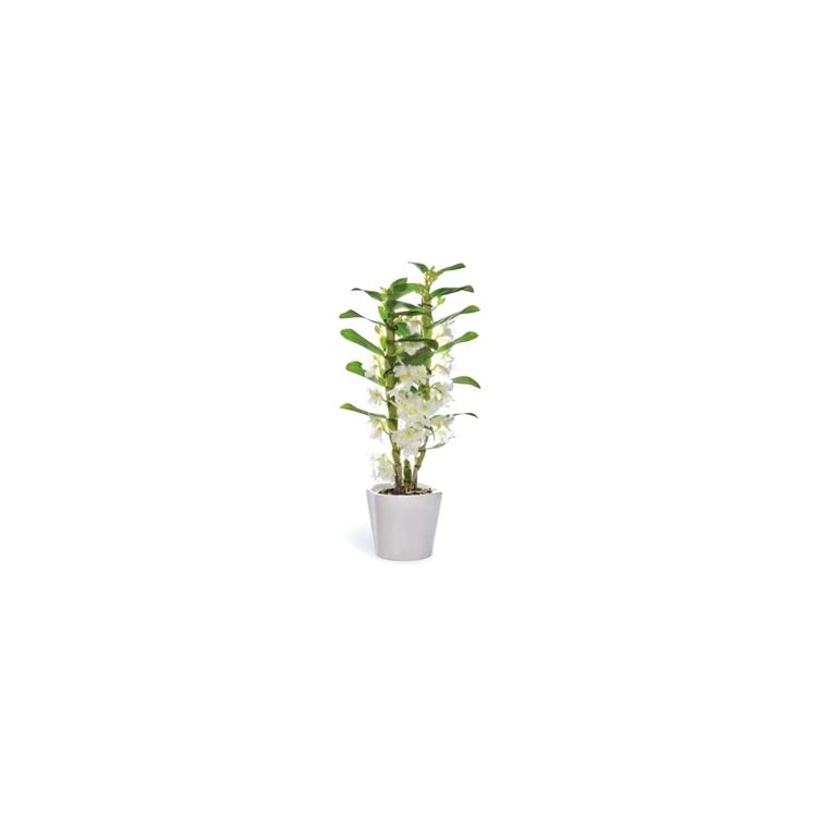 Orchidée Dendrobium nobile + cache-pot. Pot 12 cm 346512