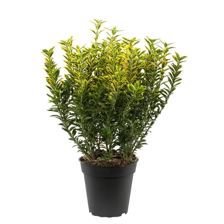 Euonymus Jap. Micro. Panache. Le pot de 1 litre 346682