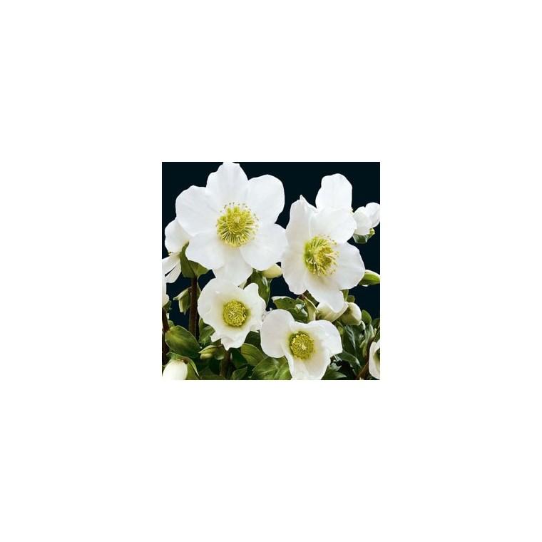 Hellébore (ou Rose de Noël) NIGER - Le pot de 1 litre 347116