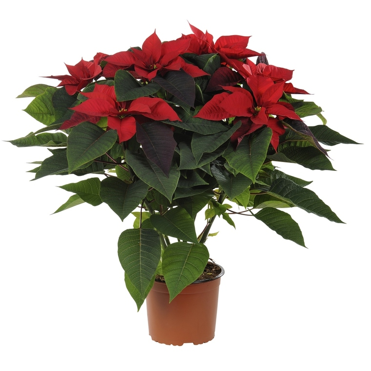 Poinsettia pailleté rouge en pot Ø 21 cm 347300