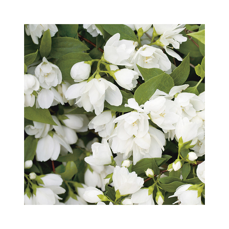 Philadelphus Virginal (PHILADELFUS VIRGINALIS SNOW FLAKE), en pot de 7 litres 353694