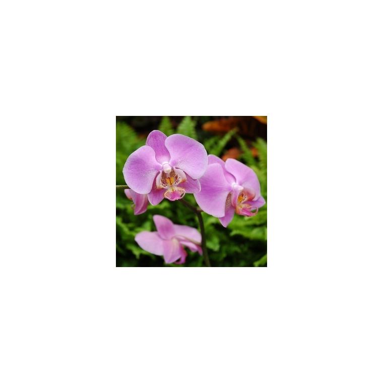 Orchidée Phalaenopsis 2 branches arceau. Pot 12 cm