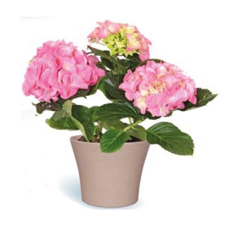 Hortensia et cache-pot 360344