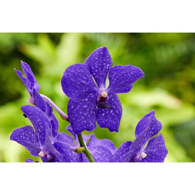 Orchidée Vanda 363478