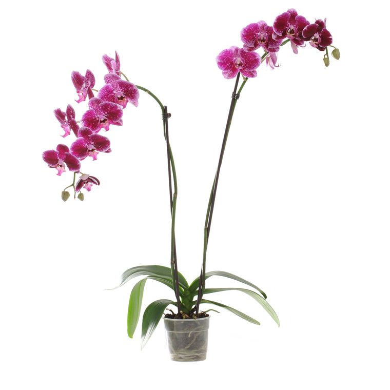 Orchidée Phalaenopsis Collection