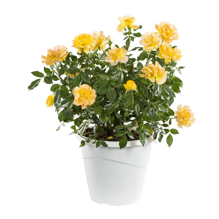 Rosier miniature multicolore en pot de 6 L Ø 13-15 364129