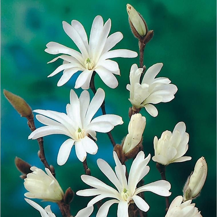 Magnolia étoilé - pot 7 L 364624