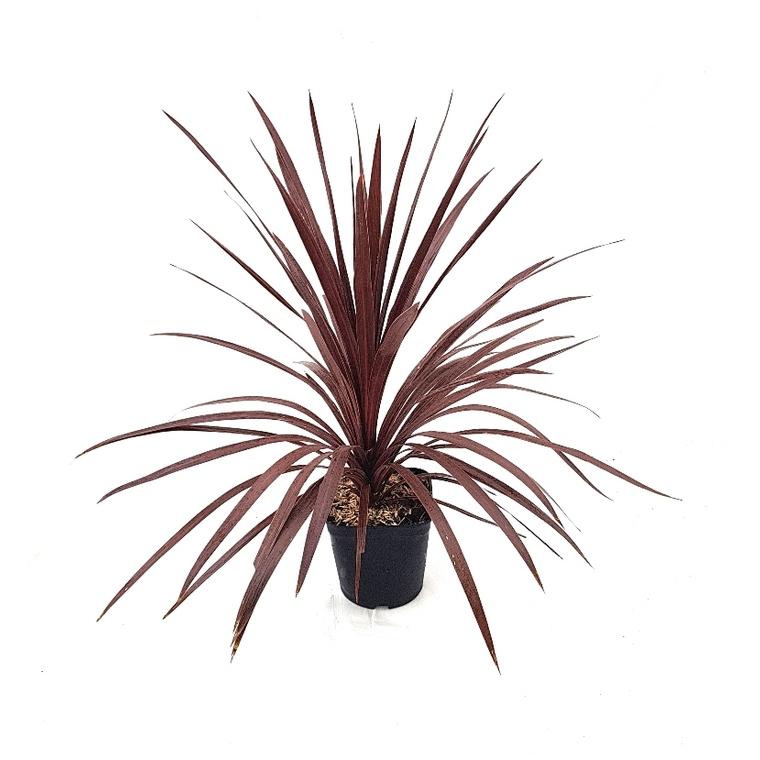 Cordyline Australis Red Star en pot de 3 L rouge 364632