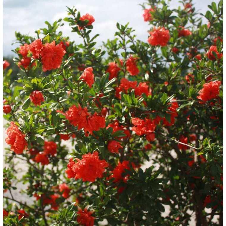 Grenadier à fleurs (Punica Granatum). Le pot de 15 litres 364711
