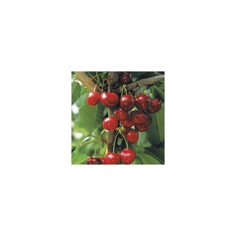 Cerisier Bigarreau Cœur de Pigeon forme gobelet 365382