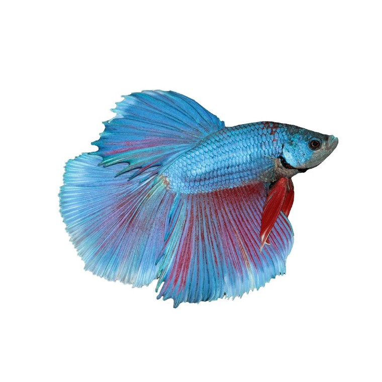 Poisson betta half moon de 4 … 5 cm 36773