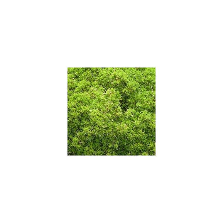 Sclaranthus mousse vert en pot de 1,6 L 371247