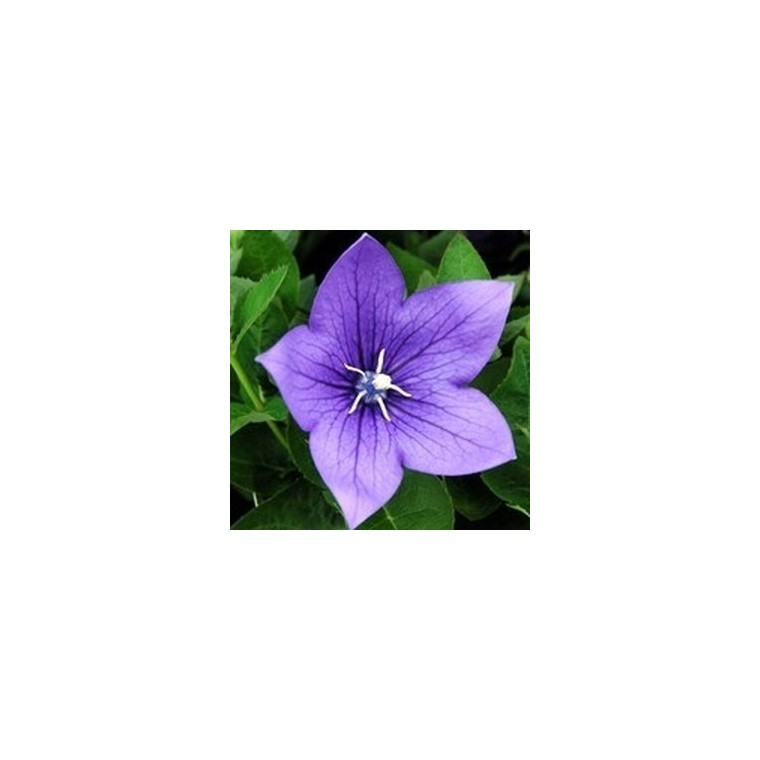 Platycodon grandiflorus bleu en pot de 1,6 L 371279