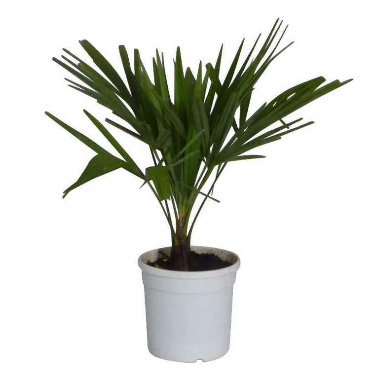Trachycarpus 371698