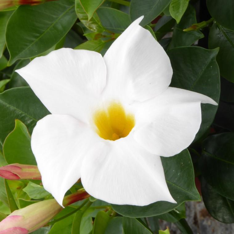 Dipladénia blanc. Le pot de 10,5 cm 371735
