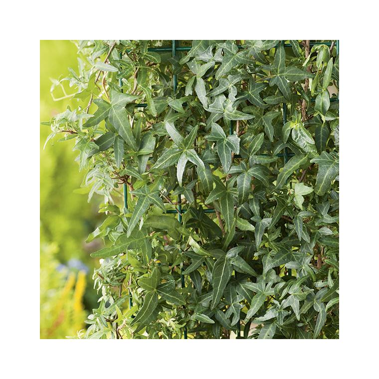 Lierre Hedera Helix Sagittifolia vert échelle 90/120 cm en pot de 3 L 372209