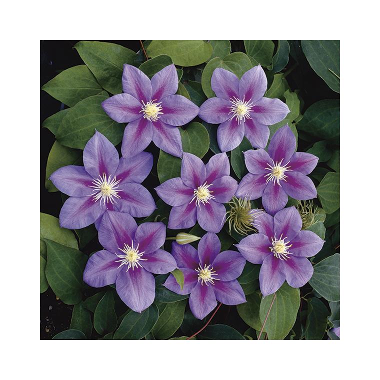 Clématite Barbara Jackmann violette en pot de 3 L 372213