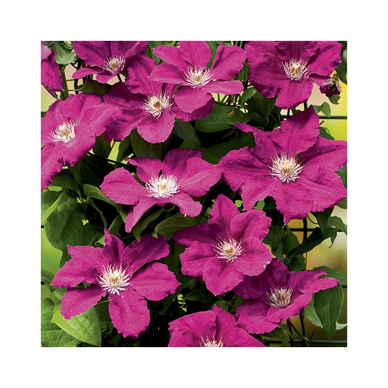 Clématite Ernest Markham botanic® - Pot de 3L recyclé 372215