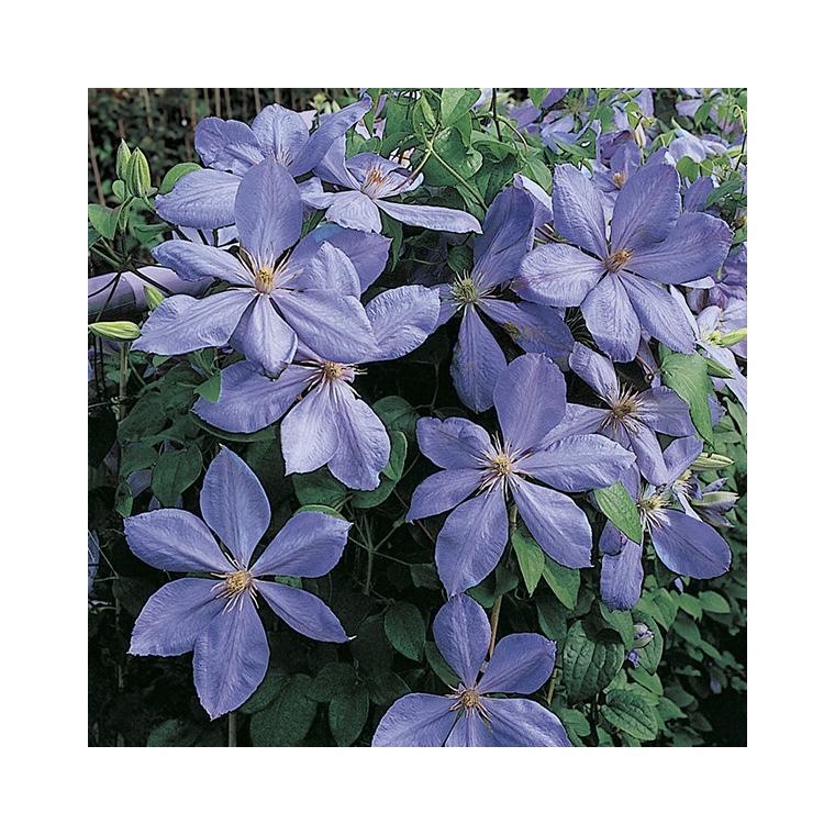 Clématite Mrs Cholmondeley botanic® - Pot de 3L recyclé 372219