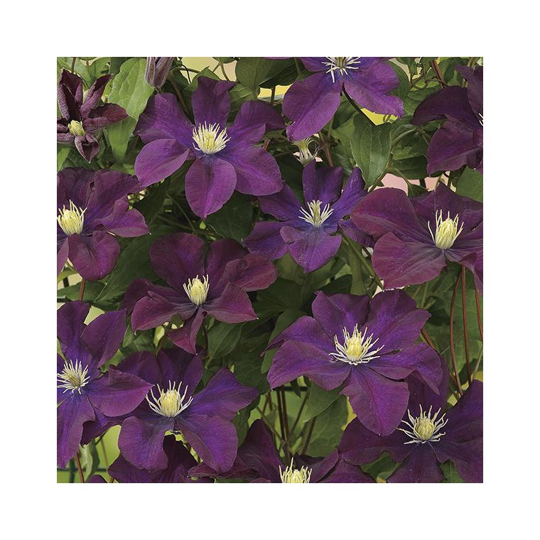Clématite Warszawka Nike coloris violet en pot de 3 L 372227