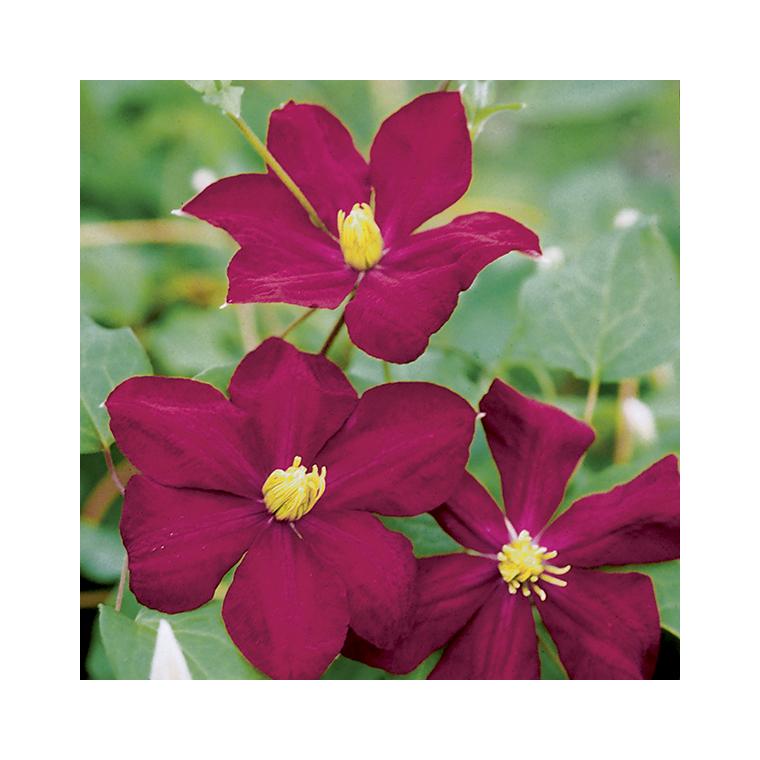 Clématite Voluceau botanic® - Pot de 3L recyclé 372231