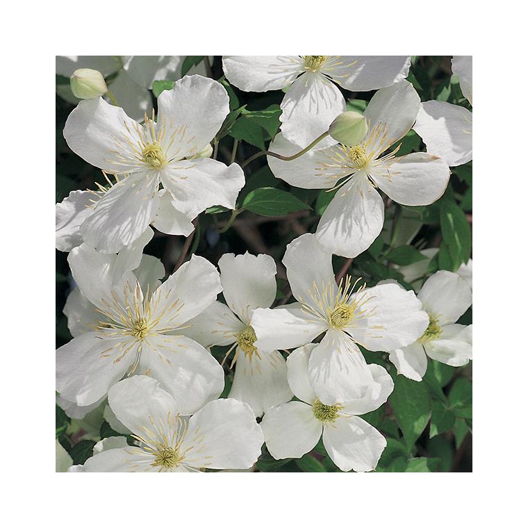 Clématite Montana Spooneri botanic® - Pot de 3L recyclé 372234