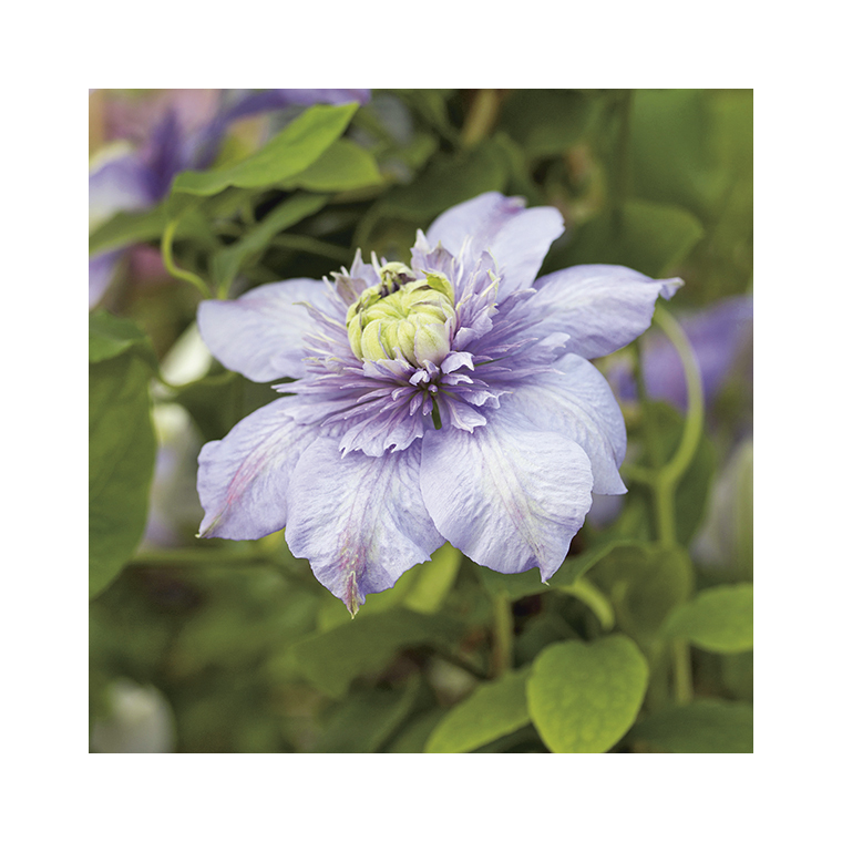 Clématite Blue Light® botanic® - Pot de 3L recyclé 372235