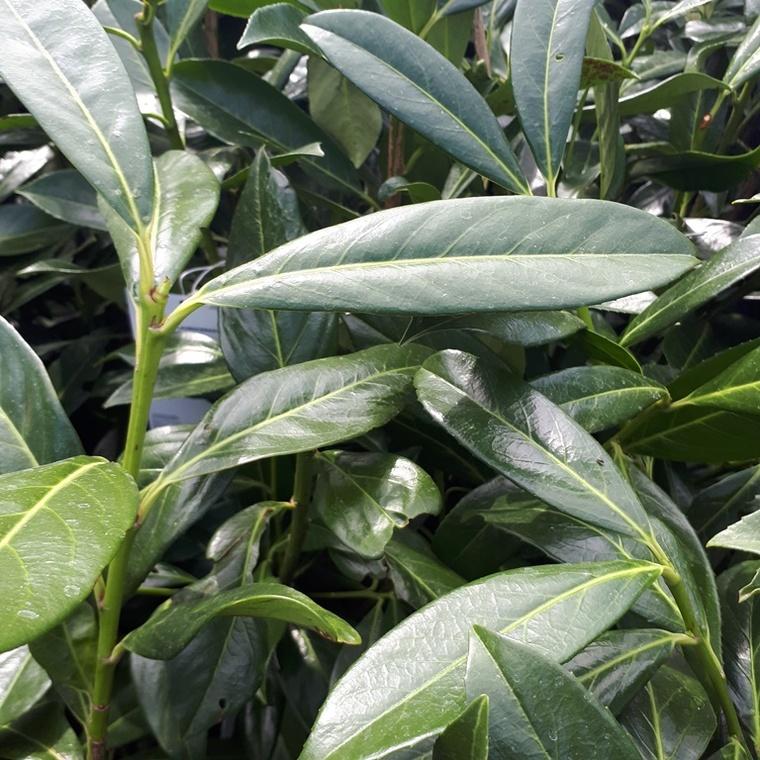 Prunus Laurocerasus Caucasica 80/100 cm en pot de 10 L 372896