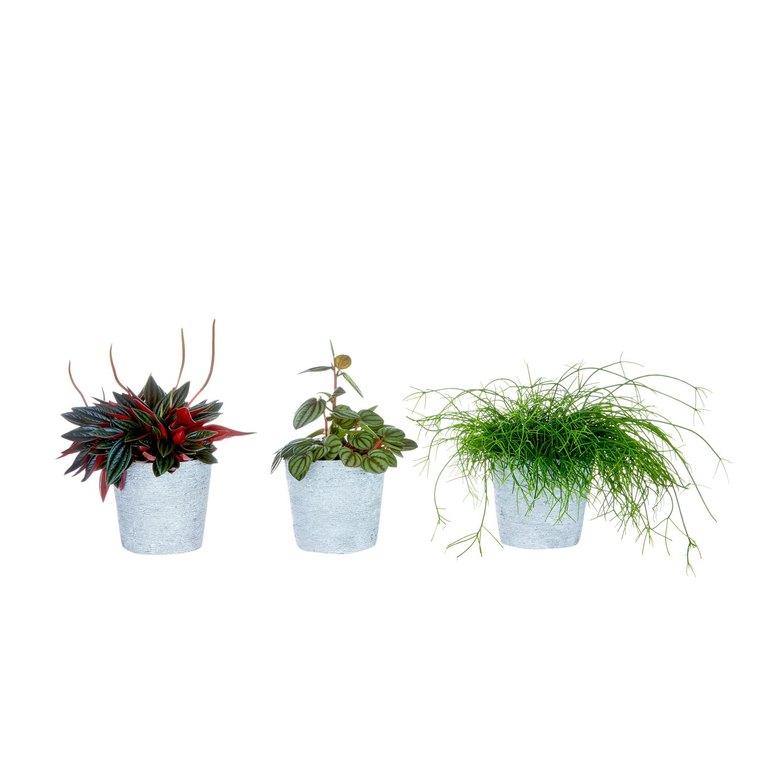 Plante verte avec cache-pot Ø 10,5 cm 373546