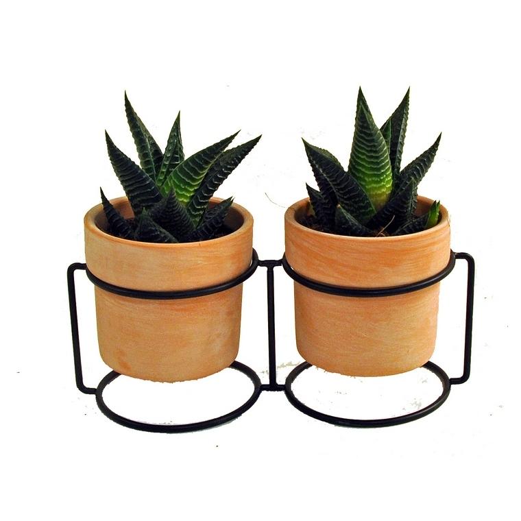 Duo de succulentes en pot 373547