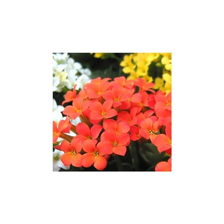 Kalanchoé. La jardinière de 50 cm 498117