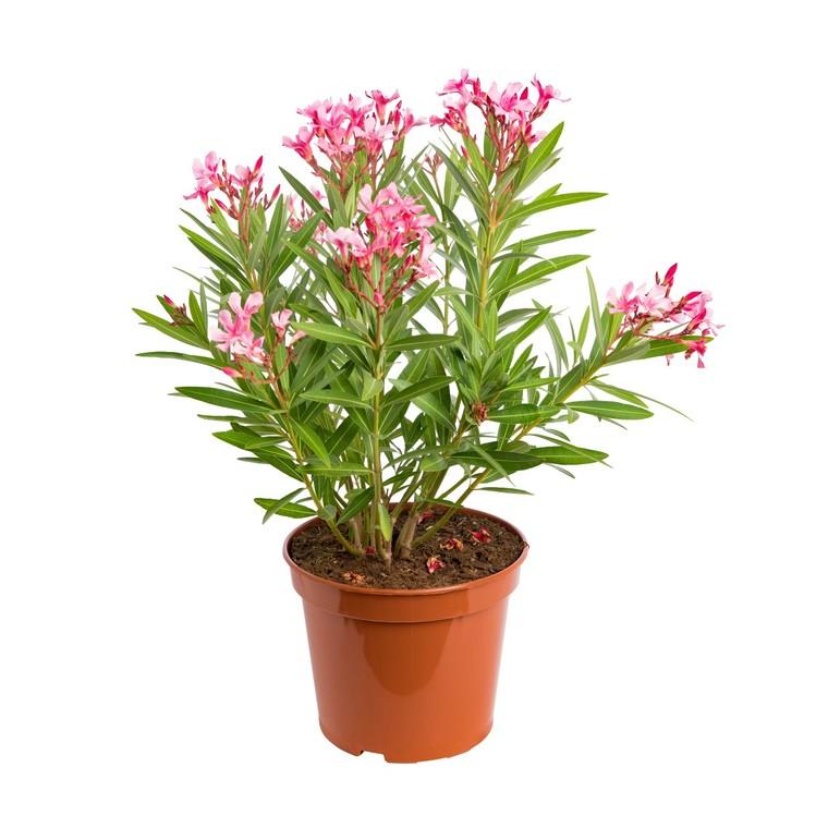 Nerium Oleander Varié – Pot de 7L 374575