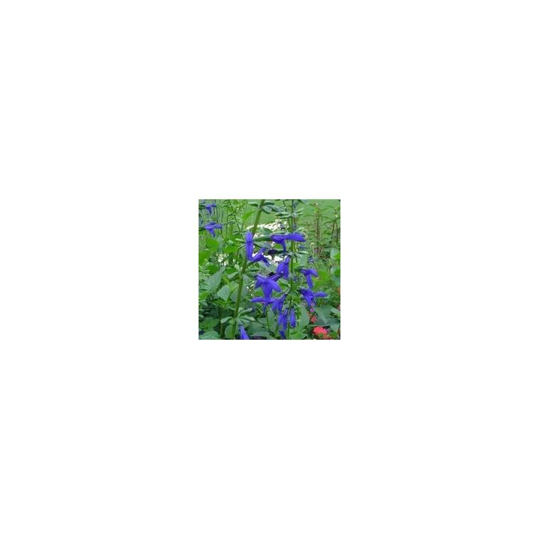 Salvia monrovia bleue en pot de 5 L 199826
