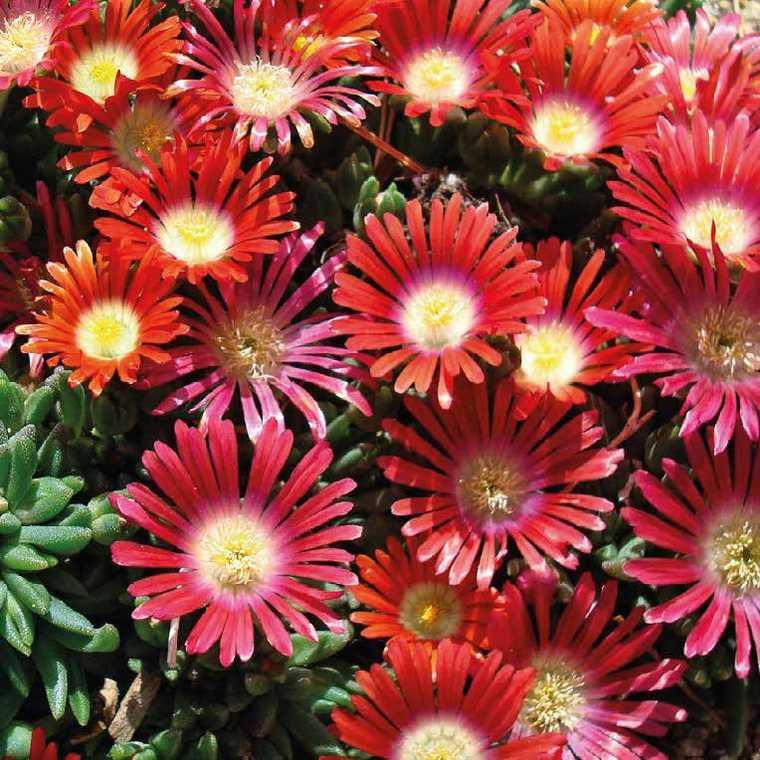 Delosperma dyeri red mountain rouge. Le pot de 9x9 cm 379641