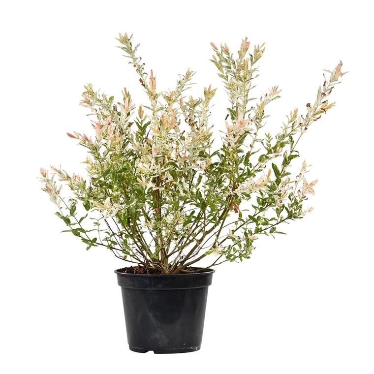 Saule Crevette (Salix integra Hakuro Nishiki). Le pot de 4 litres 379829