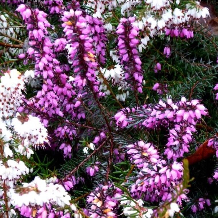 Bruyère Erica Carnea rose. Le pot de 5 litres 381182