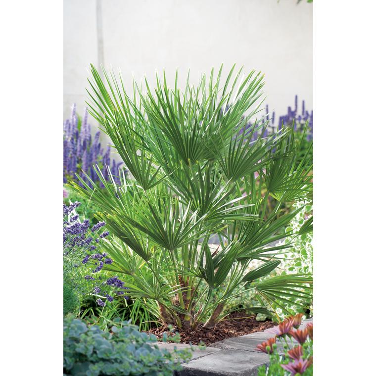 Palmier - pot 35 L 381526