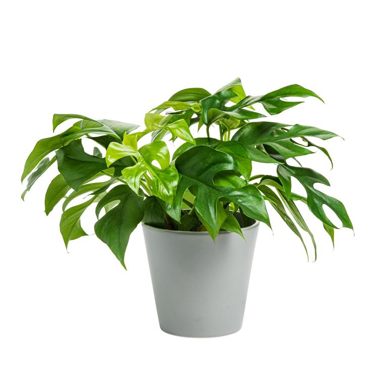 Philodendron Minima + Cache-pot 383335