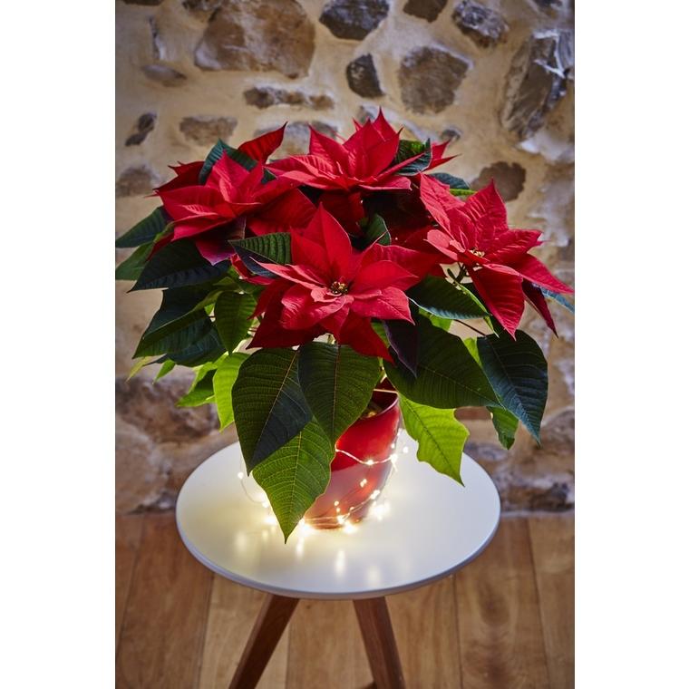 Poinsettia ou Etoile de Noël avec son cache pot Ø 13 cm 383355