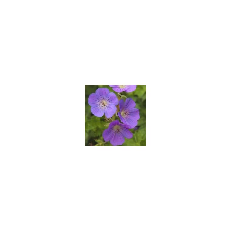 Géranium rozane. La coupe de 25 cm 164427