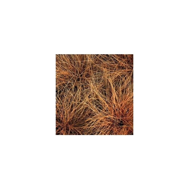 carex comans bronze form. Le pot diam 12 cm 116024