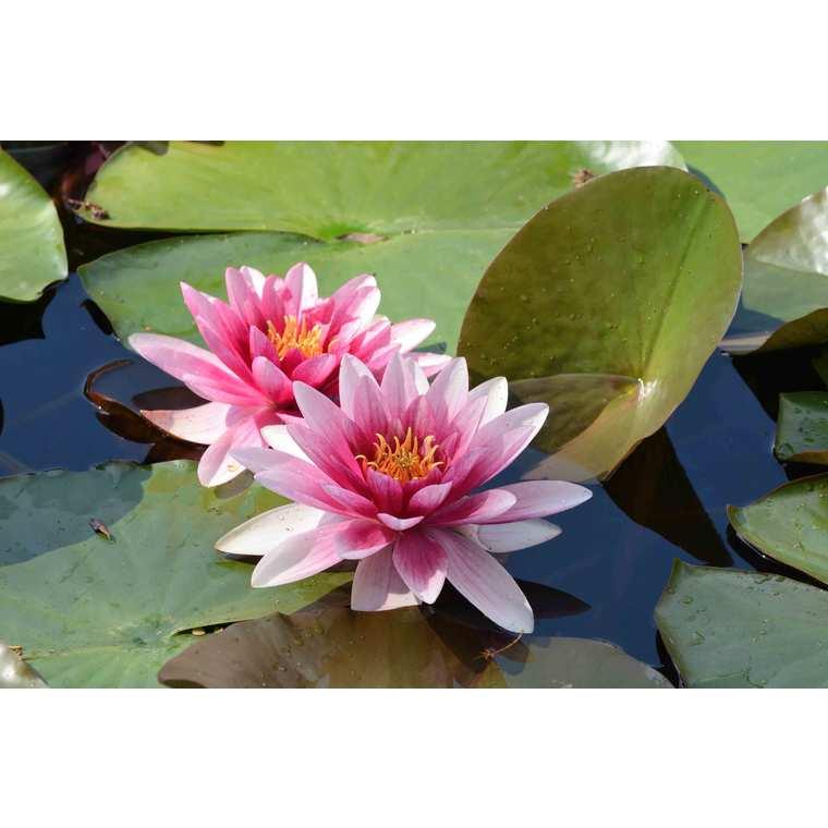 Substrat plantes aquatiques 15 L 386905