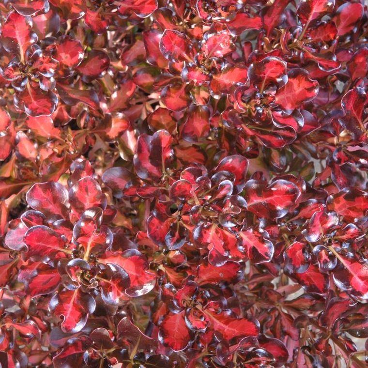 Coprosma Repens Pacific Sunset multicolore en pot de 4 L 387332