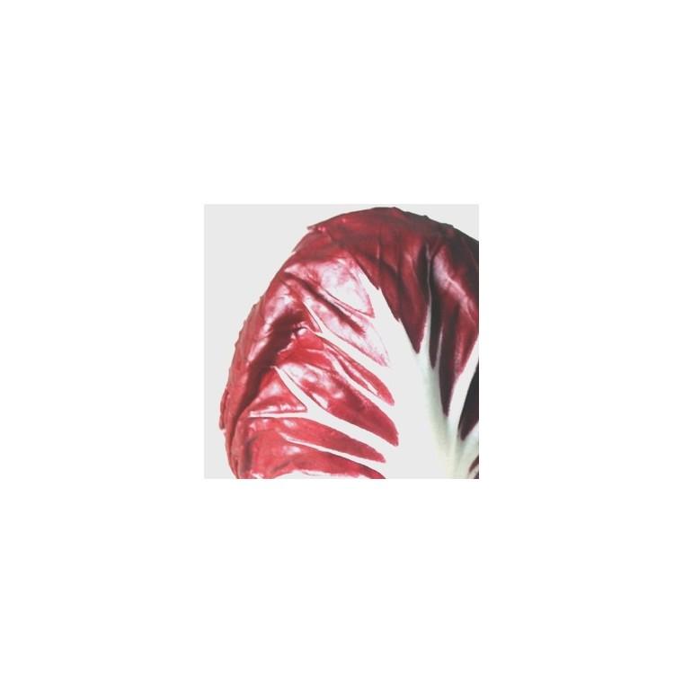 Chicorée Rouge Chioggia Léonardo bio. La barquette de 12 plants 626533