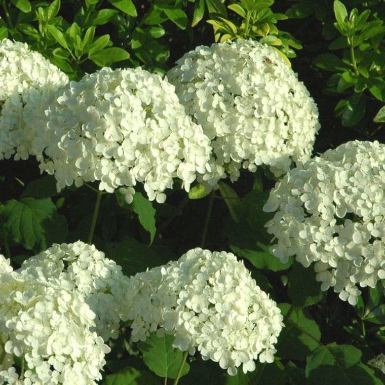 Hortensia Annabelle (Hydrangea Arborescens) blanc. Le pot de 3 litres 389915