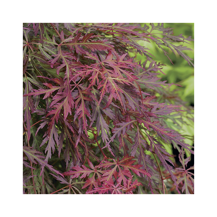 Acer Palmatum Orangeola – Pot de 7L