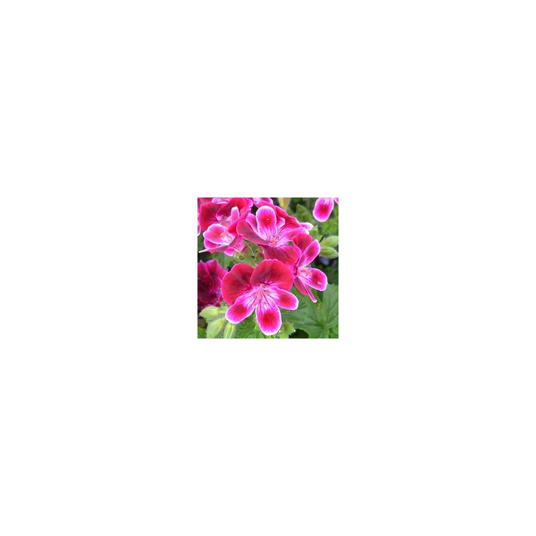 Géranium pensée à grandes fleurs. Le pot de 4.5 litres 164370