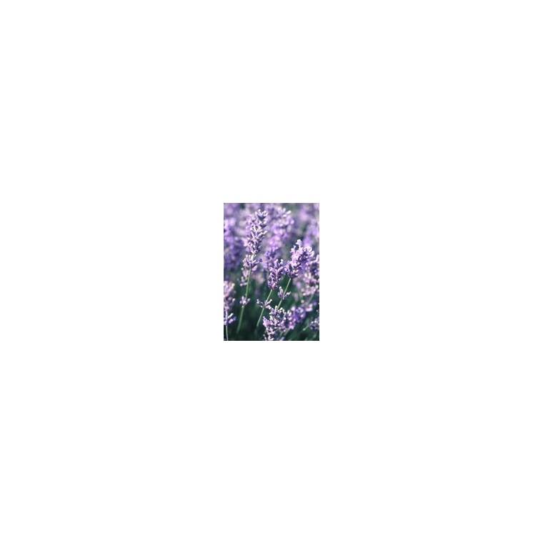 Lavande Dutch Lavender en pot de 4 litres 809395