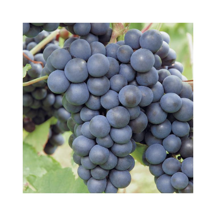 Potager Hambourg Pot Vigne Le Fruits Muscat 2 De LitresPetits W2YeH9IbDE